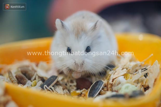 Năm Canh Tý, người trẻ tìm mua chuột hamster để giảm stress và cầu chúc may mắn - Ảnh 1.