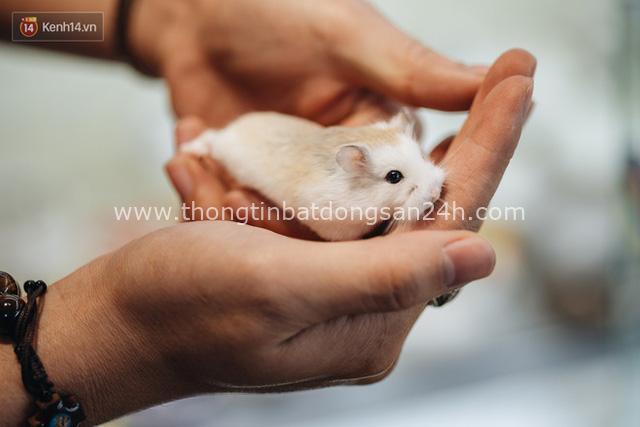 Năm Canh Tý, người trẻ tìm mua chuột hamster để giảm stress và cầu chúc may mắn - Ảnh 7.