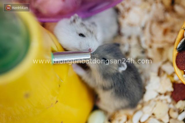 Năm Canh Tý, người trẻ tìm mua chuột hamster để giảm stress và cầu chúc may mắn - Ảnh 10.
