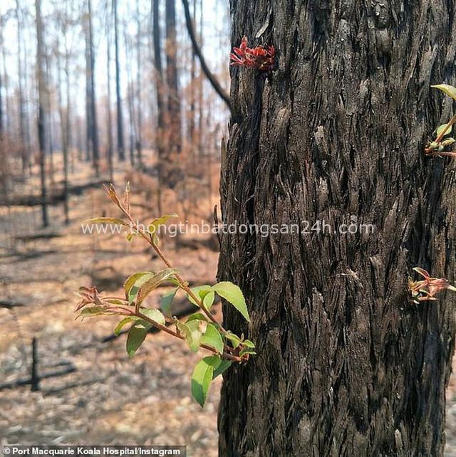 Phượng hoàng lửa tái sinh từ đống tro tàn: Những mầm sống vươn mình tại nơi hứng chịu sự càn quét của Thảm hoạ cháy rừng - Ảnh 5.