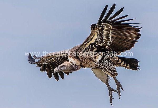 1001 thắc mắc: Không phải chúa tể đại bàng, loài chim nào bay cao nhất thế giới? - Ảnh 1.