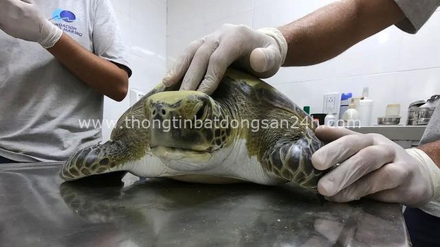Một con rùa xanh quý hiếm phải uống thuốc xổ cả tháng trời mới thải hết rác nhựa trong bụng ra ngoài - Ảnh 5.