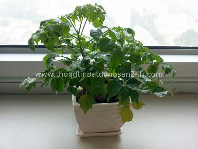 4 giống cây sức khỏe trồng trong nhà, văn phòng: Đẹp nhà, dưỡng sinh, bình an, hạnh phúc - Ảnh 4.