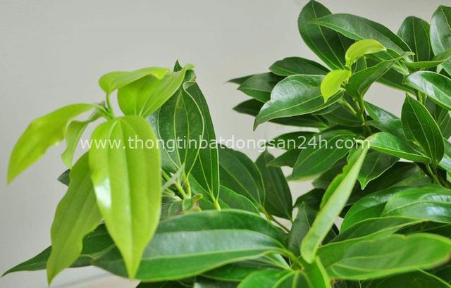4 giống cây sức khỏe trồng trong nhà, văn phòng: Đẹp nhà, dưỡng sinh, bình an, hạnh phúc - Ảnh 7.