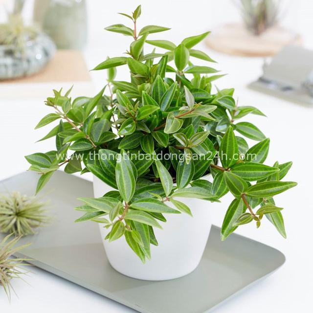 4 giống cây sức khỏe trồng trong nhà, văn phòng: Đẹp nhà, dưỡng sinh, bình an, hạnh phúc - Ảnh 8.