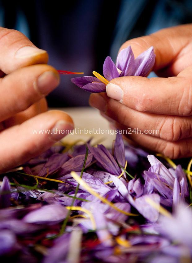 """Cận cảnh quá trình thu hoạch saffron - thứ gia vị đắt nhất thế giới được mệnh danh """"vàng đỏ"""" có giá hàng tỷ đồng/kg, từng được Nữ hoàng Ai Cập dùng để dưỡng nhan - Ảnh 2."""
