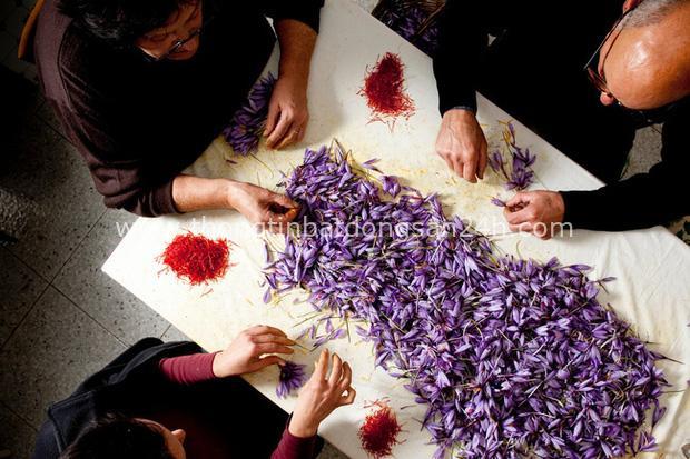 """Cận cảnh quá trình thu hoạch saffron - thứ gia vị đắt nhất thế giới được mệnh danh """"vàng đỏ"""" có giá hàng tỷ đồng/kg, từng được Nữ hoàng Ai Cập dùng để dưỡng nhan - Ảnh 9."""