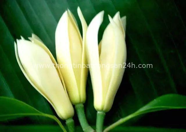 Trồng một cây hoa ngọc lan: Thơm - ngon - đẹp - Thật xứng danh là một kho báu trong vườn - Ảnh 3.