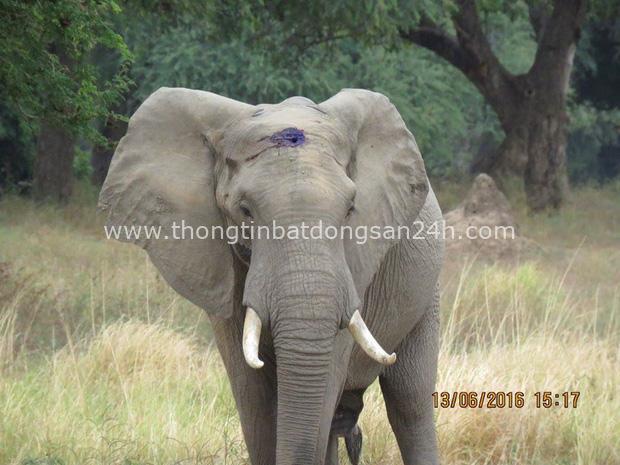 Kiểm tra lỗ thủng kỳ lạ trên đầu chú voi, bác sỹ thú y phát hiện sự thật đau buồn nhưng cũng bất ngờ vì cách hành xử của con vật - Ảnh 8.